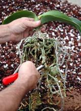 Tillandsia soins courants par genres d 39 orchid es - Comment couper la tige d une orchidee apres floraison ...